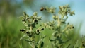 Monkswort flower plant flowering Nonea pulla canescens blossom bloom inflorescence dark purple, pollinates bee fly or dark-edged black-tailed bee-fly Bombylius major stepp meadow 73596584