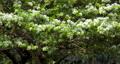 流蘇樹 ,四月雪,タッセルツリー、4月の雪、Tassel tree, April snow, 73598314