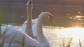 Large swans drift on lake and drink under bright sunlight 73709160