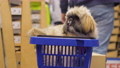 Little funny dog with brown fur sits in blue shopping basket 73709163