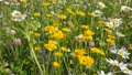 Field with white and yellow daisies in the wind. Flowers in the summer meadow. Doronicum 73757581