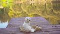 White dog maltese on a wooden pier at autumn 73760760