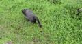黑天鵝,草地,啄食嫩草,黒い白鳥、草、やわらかい草をつつく、Black swan, grass,  73765199