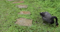 黑天鵝,草地,啄食嫩草,黒い白鳥、草、やわらかい草をつつく、Black swan, grass,  73765200