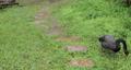 黑天鵝,草地,啄食嫩草,黒い白鳥、草、やわらかい草をつつく、Black swan, grass,  73765201