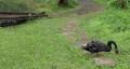 黑天鵝,草地,啄食嫩草,黒い白鳥、草、やわらかい草をつつく、Black swan, grass,  73765202