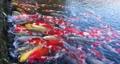 Nishikigoi在香川縣高松市的栗林花園裡游泳 73780545