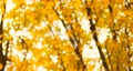 Beautiful blurred background of gold yellowmaple leaves with branches in the wind in autumn season day, bottom view 73794671