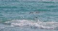 Seagulls swaying on waves of Black sea. Sea birds eat something in azure water at sunny day. Flock of birds at Sochi, Russia. 73799340