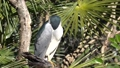 Adult night heron that stays in a tree and sleeps 73872814