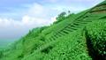 Tea fields on the hillside. Tea farmers at work. Xiaoyeliu has a unique geological landscape, Taitung, Taiwan. 73925049