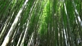 A green bamboo forest in the morning. The air is very fresh. Xiaoyeliu has a unique geological landscape, Taitung, Taiwan. 73925053