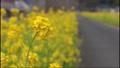 鹿児島県姶良市加治木町の菜の花ロード 菜の花に挟まれた道路 73927306
