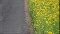 鹿児島県姶良市加治木町の菜の花ロード 菜の花とアスファルトの道の二分割 73927307