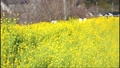 鹿児島県姶良市加治木町の菜の花ロードを歩く女性 73927309