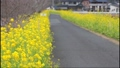 鹿児島県姶良市加治木町の菜の花ロード 菜の花に挟まれた散歩道 73927310