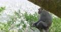 A Formosan Rock Macaque monkey in a tree looking at the city Kaohsiung, Taiwan. Cute animal relaxing in nature while natural habitat is restricted and endangered by humans and climate change.  4K. 73955949