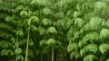 바람에 흔들리는 대나무 숲 74017317