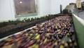 Fresh harvested olives transported on conveyor belt to crushing machine on artisanal factory of olive oil 74059367