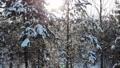 aerial shot flying through winter snow crown trees with sun shining sun beams wonderful world 74112315