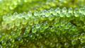 close up fresh sea grape 74119030