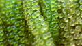close up fresh sea grape 74119032