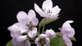 spring pink flowers blooming, opening its blossom, cherry tree, germination, new life, time lapse 74341580