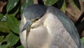 Adult night heron (night heron) that hides in the trees and hangs out 74344317