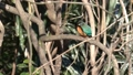 Winter jade (kingfisher) staying on a tree branch and basking in the sun 74344318