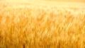 【北海道美瑛町】秋まき小麦の穂が風に揺れる様子 74372358