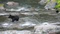 【北海道知床半島】カラフトマスを捕まえるヒグマ  74413516