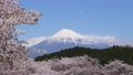 Mt. Fuji and spring cherry blossom snowstorm 74549624