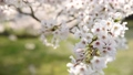 櫻花和樹枝在陽光下在風中搖曳穿過樹林 74595308