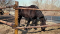 One Dark Bay Horse Eats hay Outdoors at the Farm in Paddock on Sunny Day 74669071