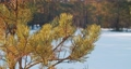 The branch of pine tree close-up in calm weather 74796343