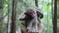 武陵源に住む可愛い猿 74820667