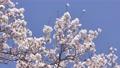 櫻花藍天盛開 74828117