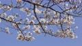 櫻花藍天盛開 74831258