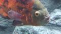 Piranha fish of the class Pygocentrus nattereri. 74850805