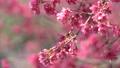 벚꽃 봄 핑크 さ う ら 桜 벚꽃 sakura 74891411