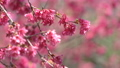 벚꽃 봄 핑크 さ う ら 桜 벚꽃 sakura 74891412