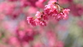 벚꽃 봄 핑크 さ う ら 桜 벚꽃 sakura 74891413