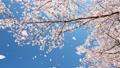 櫻花之舞傾斜 74959066