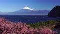 (靜岡縣)大風吹來的駿河灣,富士山伊塔川上的河津櫻花 75011315