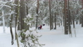 People walk on a winter day in a pine forest. Wonderful Baltic weather in January on weekends. White snow on the green branches of pine trees. Latvia 75055003