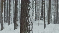 Snowfall in the pine forest in winter. Deep brown bark in the foreground. The pines in the background stand like a solid wall. Latvia 75055013