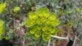 風に揺れるトウダイグサの花 75092315