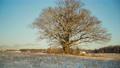 Lone mighty oak in a field in winter 75119785