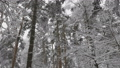 Winter forest during a snowfall, slow motion 75197862
