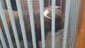 Little buffalo lives in an aviary 75303316
